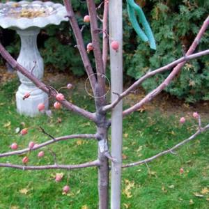 Co-dominat-limb-young-tree-300x300