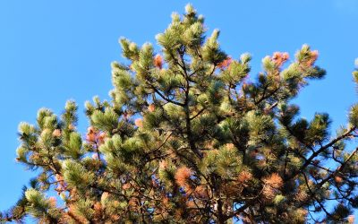 Monterey Pine – To Save or Not To Save?